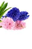 Hyacinten Stock Afbeelding