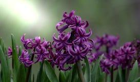 hyacinten Stock Foto's