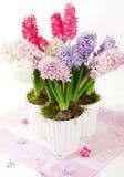 Hyacinten in bloempotten Stock Afbeelding