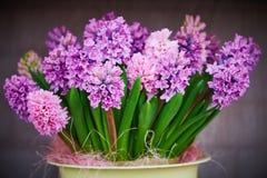 Hyacinten blommar i kruka royaltyfri bild