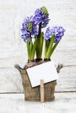 Hyacinten blommar i träkruka arkivfoto
