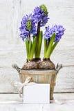 Hyacinten blommar i träkruka royaltyfri fotografi