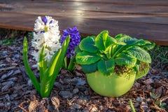 Hyacinten blommar i vår på en säng Royaltyfria Bilder