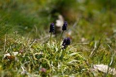 Hyacinten in de lente Royalty-vrije Stock Fotografie