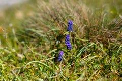 Hyacinten in de lente Royalty-vrije Stock Afbeeldingen