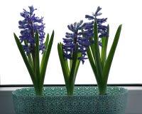 Hyacinten in de pot Royalty-vrije Stock Fotografie