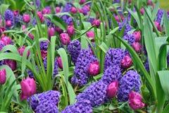 Hyacinten en tulpen Stock Afbeelding