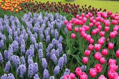 Hyacinten en tulpen Stock Foto's
