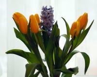 Hyacinten en tulpen De lente komt Royalty-vrije Stock Foto's