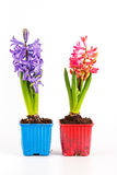 Hyacinten in geïsoleerde bloempotten Stock Fotografie