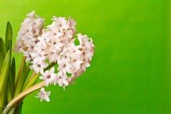 3 hyacinten kopiëren ruimteachtergrond Royalty-vrije Stock Foto