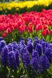 Hyacinten, tulpen en gele narcissen in de lente Royalty-vrije Stock Foto's