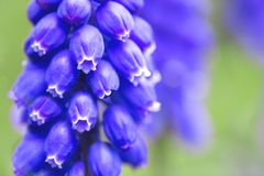 hyacintenbloei in de tuin stock afbeelding