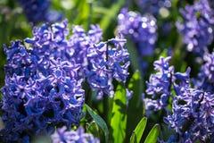 Hyacintenbloemen royalty-vrije stock afbeeldingen