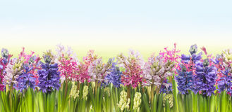 Hyacintenbloemen tegen blauwe hemelbanner Stock Foto's