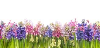 Hyacinter blommar att blomma i våren, banret som isoleras Arkivfoton
