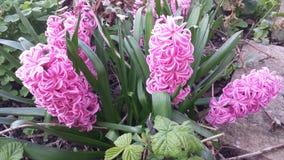 Hyacinter det lösa livet i min trädgård, rosa färger blommar Arkivbild