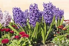 Hyacinter i en blomsterrabatt Royaltyfri Foto