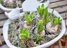 Hyacinter i en kruka Royaltyfri Fotografi