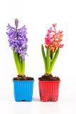 Hyacinter i isolerade blomkrukor Arkivbild