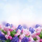 Hyacinter och tulpan Arkivfoto