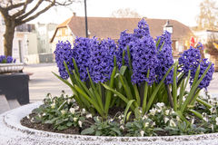 Hyacinter som blommar på bakgrunden Fotografering för Bildbyråer