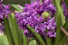 Purpurfärgad hyacint Arkivfoton