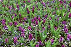 Hyacintfield i Holland, Nederländerna Arkivfoton