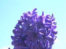hyacintfjäder Arkivfoton