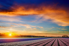 Hyacintgebied bij zonsondergang Stock Fotografie