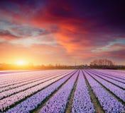 Hyacintgebied bij zonsondergang Stock Afbeeldingen