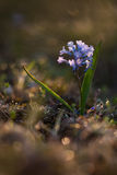 Hyacinthélla pallasià Na ¡ Royalty-vrije Stock Fotografie