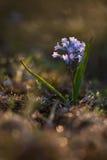 Hyacinthélla pallasiána Royalty Free Stock Photography