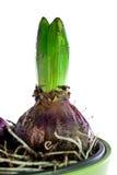 Hyacinthus - 1 Royalty Free Stock Images
