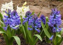 Hyacinth. Stock Photos