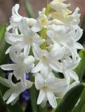 Hyacinth. Stock Photography