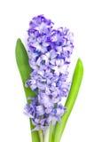 Hyacinth Foto de Stock