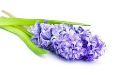 Hyacinth Fotos de Stock Royalty Free