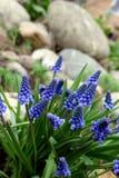 Hyacinth. Grape hyacinth, or muskari, in a garden stock photo