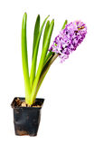 Hyacinth Stock Image
