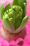 Hyacinth Royalty Free Stock Images