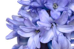 Hyacinth Stock Photo