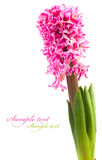 Hyacinth. Flower isolated on a white background for your design Royalty Free Stock Photography
