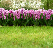 Hyacinth. Some lilac blossom on a green grassland Stock Photos
