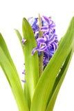 Hyacinth. Beautiful blue hyacinth bloom isolated on white Stock Image