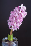 Hyacinth. Blooming hyacinth in a glass royalty free stock photography