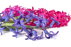 Hyacinth Stock Photos