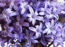 Hyacinth. A bunch of violet hyacinth Stock Photo