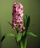 Hyacinth. Pink hyacinth in drops of water Royalty Free Stock Photography