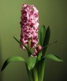 Hyacinth Fotografia de Stock Royalty Free